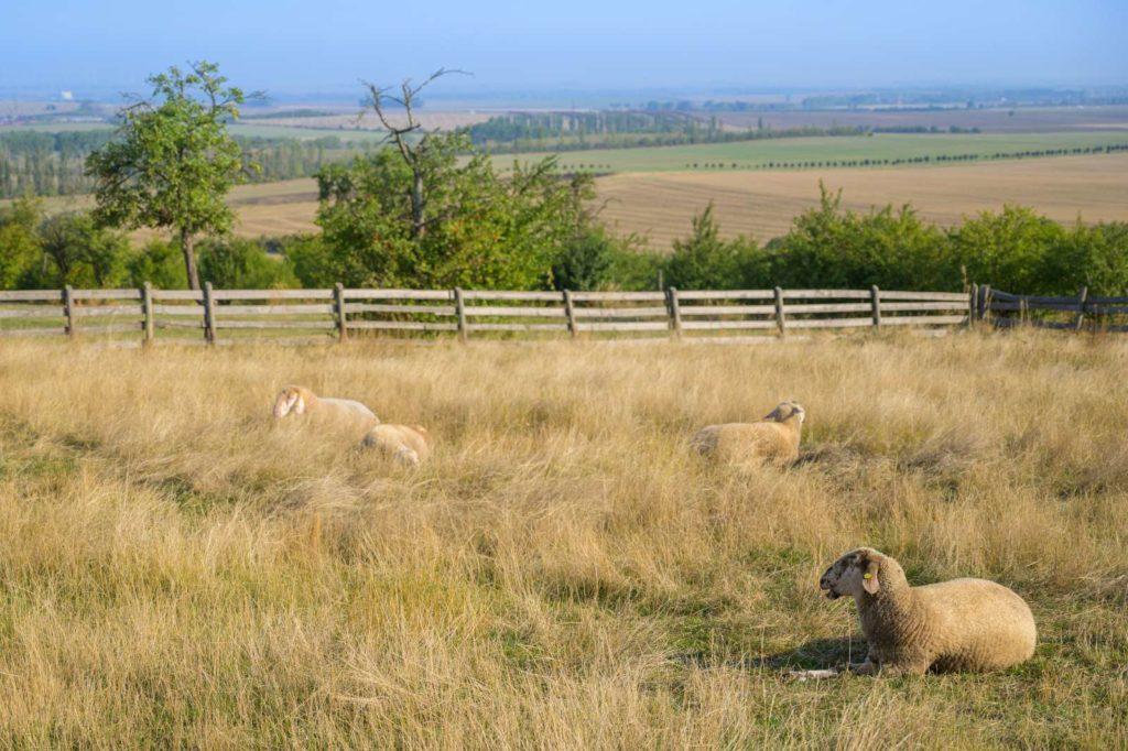 Schafe Fahner Höhe